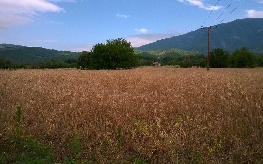 Έτοιμο για αλωνισμό του λούπινο, άλλη μια πρωτοποριακή καλλιέργεια από την ΕΥΡΩΦΑΡΜ!