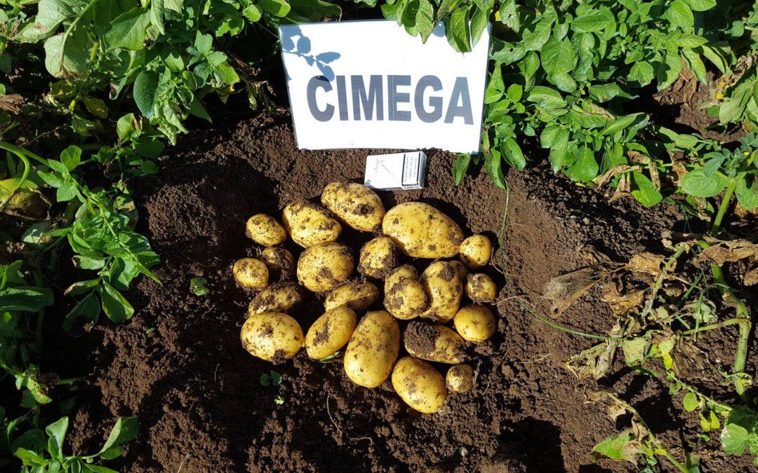 Ποικιλία πατάτας CIMEGA από την ΕΥΡΩΦΑΡΜ